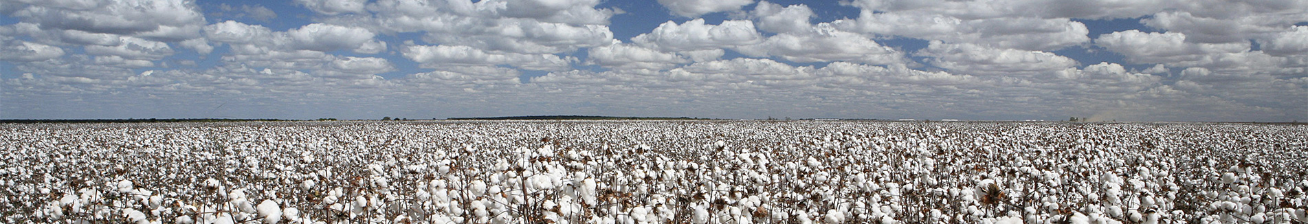 stock-photo-cotton-plantation-with-blue-sky-and-white-clouds-485087506_banner.jpg